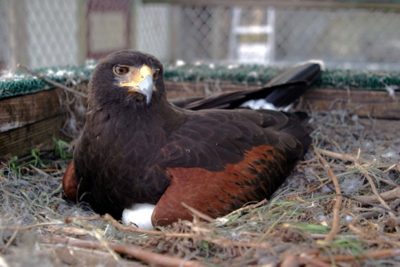 Lola, an outstanding Coulson Harris's Hawk