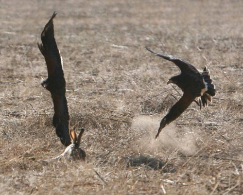 Coulson Harris's Hawks hunting cooperatively