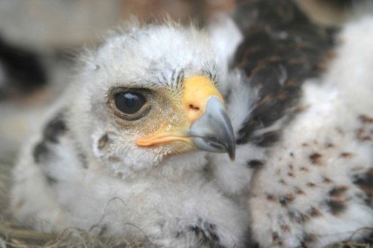 Coulson Harris's Hawk nestling