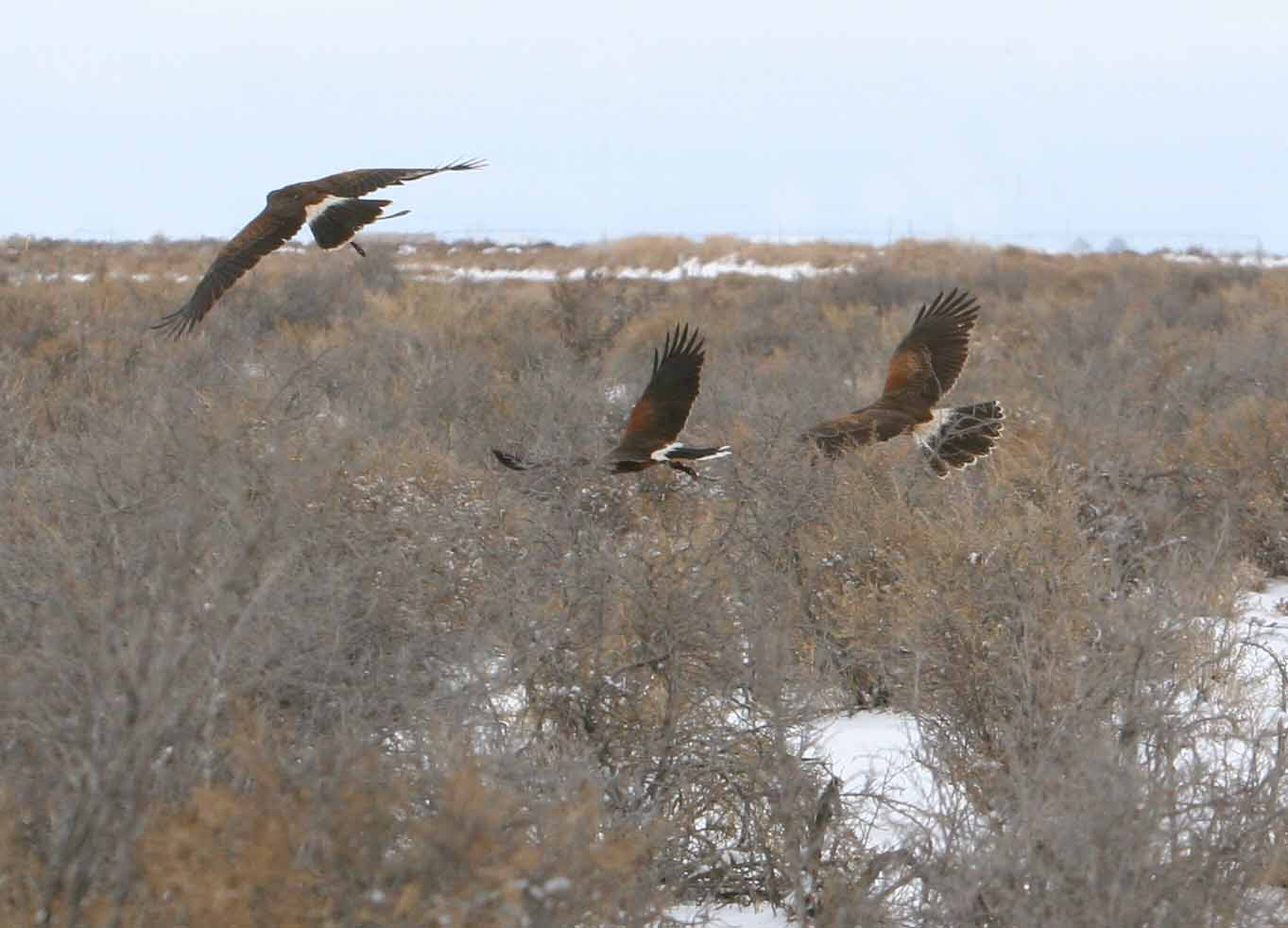 A group ofCoulson Harris's Hawks hunting cooperatively